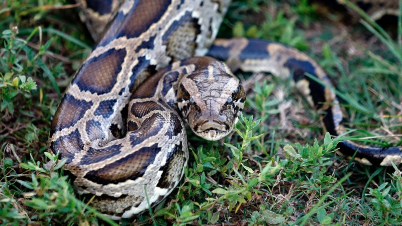 Python Dependent Spy Rat Emerges To Concentrate On Fintech