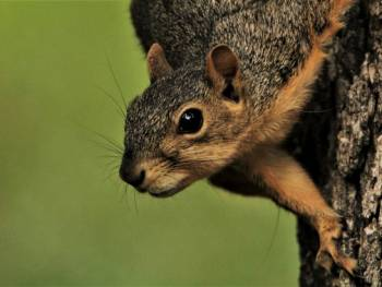 squirrelwaffle loader malspams, packing qakbot, cobalt strike